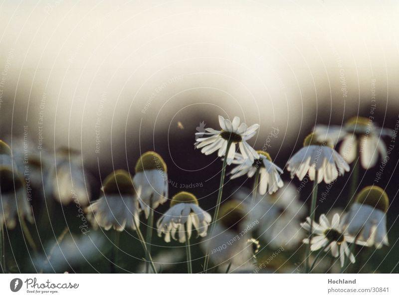 Blumenwiese 1 Blüte Blütenblatt Gegenlicht Natur sie liebt mich sie liebt mich nicht