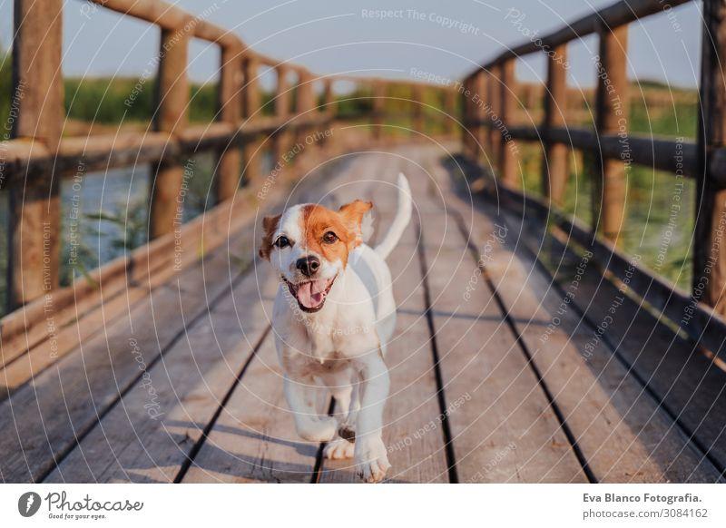 glücklicher Jack Russell Hund, der bei Sonnenuntergang auf einem Holzpier läuft. Lifestyle Freude Freizeit & Hobby Spielen Ferien & Urlaub & Reisen Ausflug
