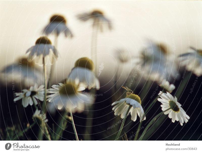 Blumenwiese 4 Blüte Blütenblatt Unschärfe Natur sie liebt mich sie liebt mich nicht