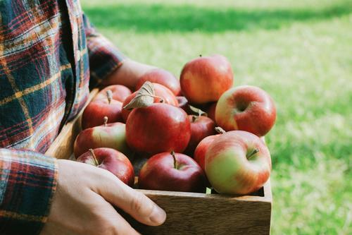 Mann im karierten Hemd mit Holzkiste und roten Äpfeln Landwirtschaft Ackerbau Apfel Herbst Korb Kasten Diät gesichtslos Lebensmittel Gesunde Ernährung frisch