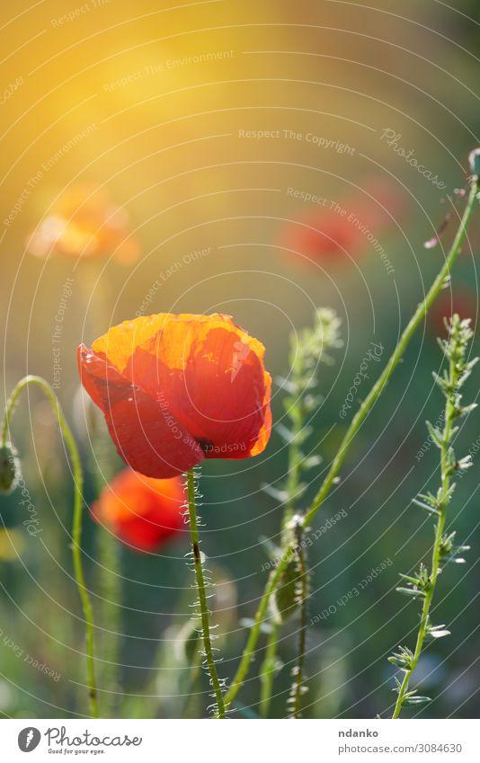 blühender roter Mohn in der Sonne, Rücklicht schön Sommer Garten Natur Landschaft Pflanze Blume Gras Blatt Blüte Wiese Wachstum frisch hell natürlich wild grün