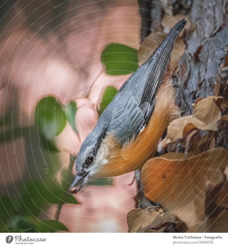 Kleiber mit Korn im Schnabel Natur Tier Sonnenlicht Schönes Wetter Baum Blatt Wildtier Vogel Tiergesicht Flügel Kopf Auge Feder gefiedert 1 Fressen leuchten