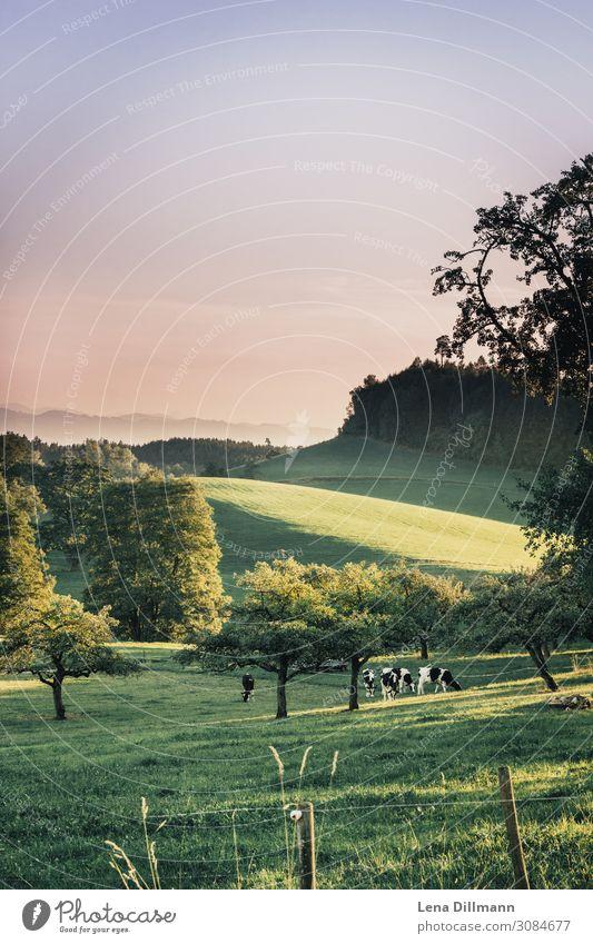 Allgäu #1 Natur Landschaft Tier Sonne Sonnenaufgang Sonnenuntergang Frühling Sommer Herbst Schönes Wetter Gras Wiese Alpen Berge u. Gebirge Nutztier Kuh