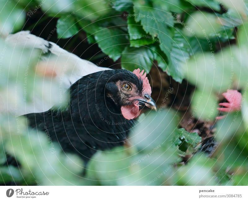 freilandhaltung Huhn schwarz Gebüsch verstecken Blätter grün Tier Außenaufnahme Tierporträt Bauernhof Geflügel Freilandhaltung freilaufend Haushuhn Nutztier