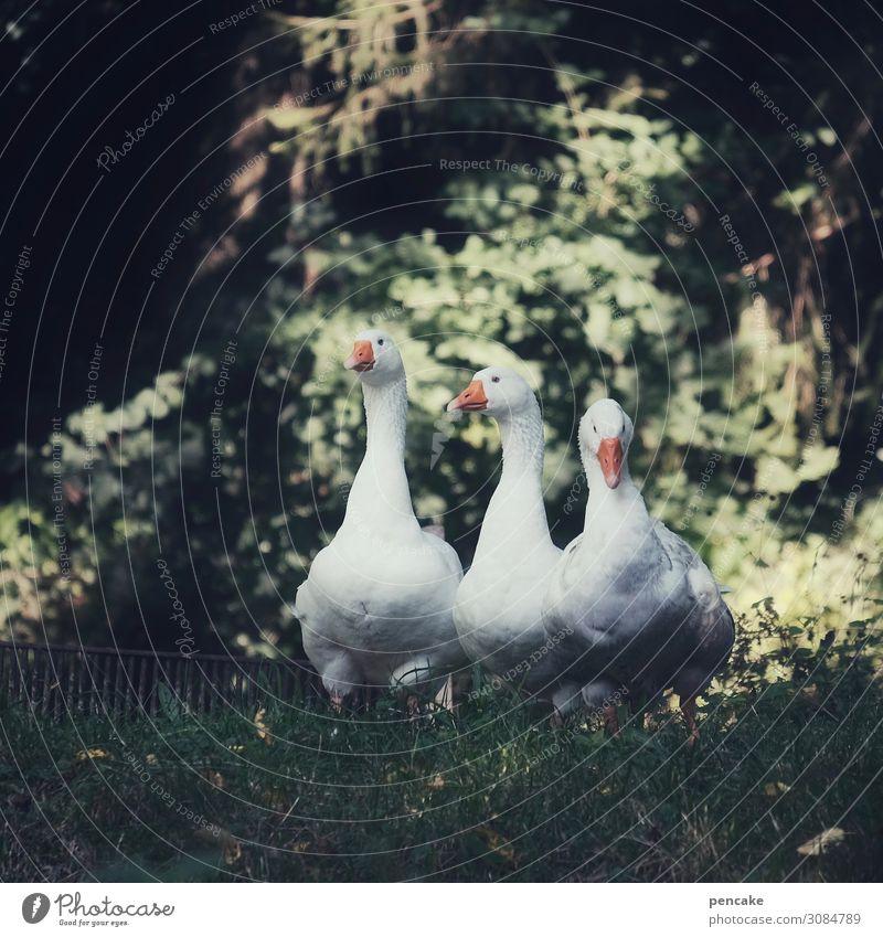 wertvoll   wachhunde Schönes Wetter Garten Park Wiese Wald Tier Haustier Vogel 3 beobachten Gans Wachsamkeit Märchen Farbfoto Gedeckte Farben Außenaufnahme