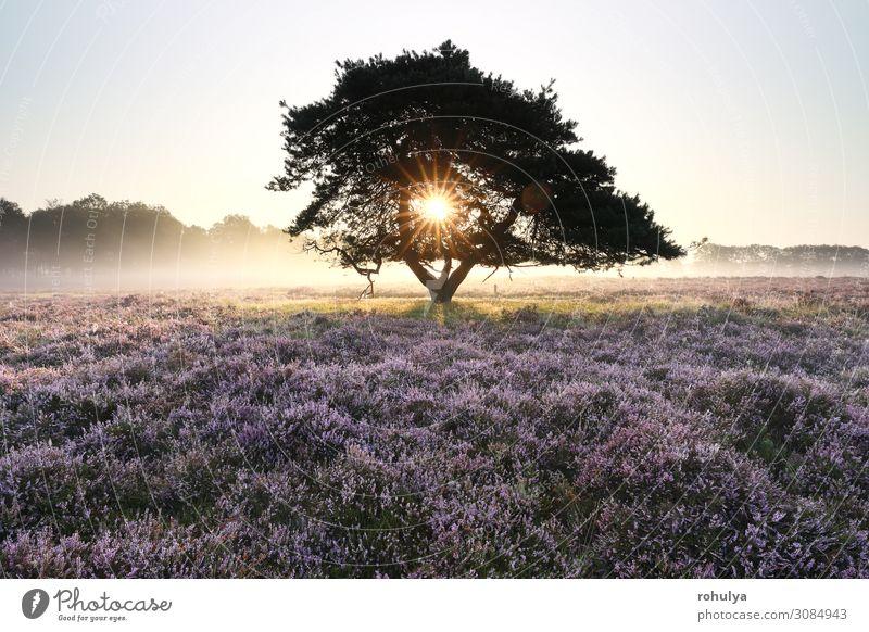 Morgensonne durch Kiefer im Nebel Sommer Sonne Natur Landschaft Pflanze Himmel Schönes Wetter Baum Blume Wachstum wild gelb gold rosa Bergheide purpur violett