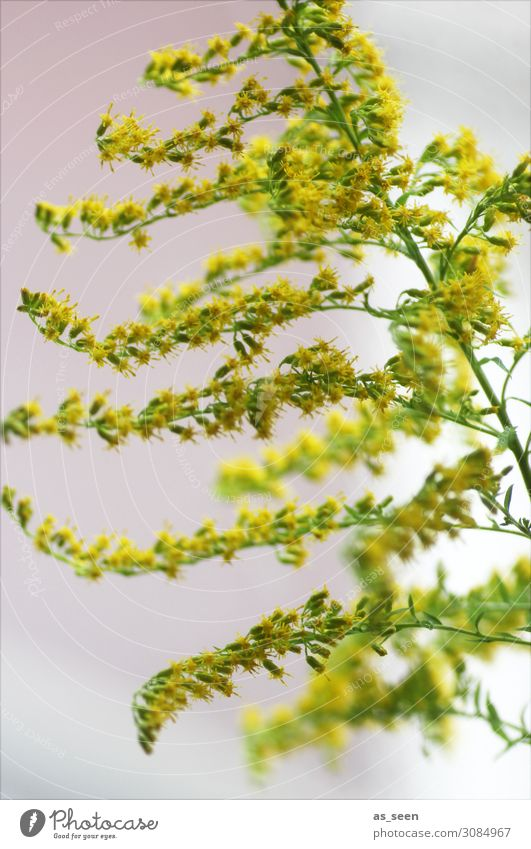 Goldrute Wellness Innenarchitektur Dekoration & Verzierung Umwelt Natur Pflanze Sommer Herbst Blüte Wildpflanze Kanadische Goldrute Garten Blumenstrauß Blühend