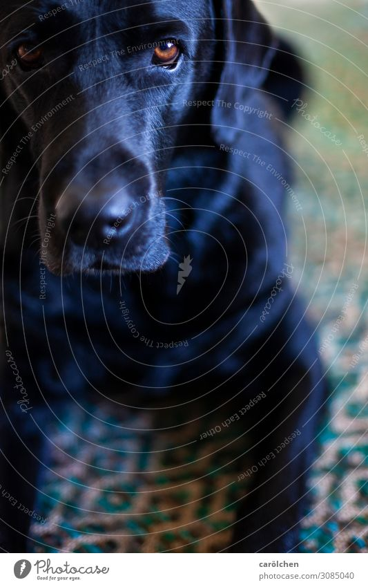 Echt? Tier Haustier Hund 1 warten blau grün schwarz türkis Labrador ruhig Konzentration Blick Freundlichkeit Wohnung Häusliches Leben Farbfoto Innenaufnahme