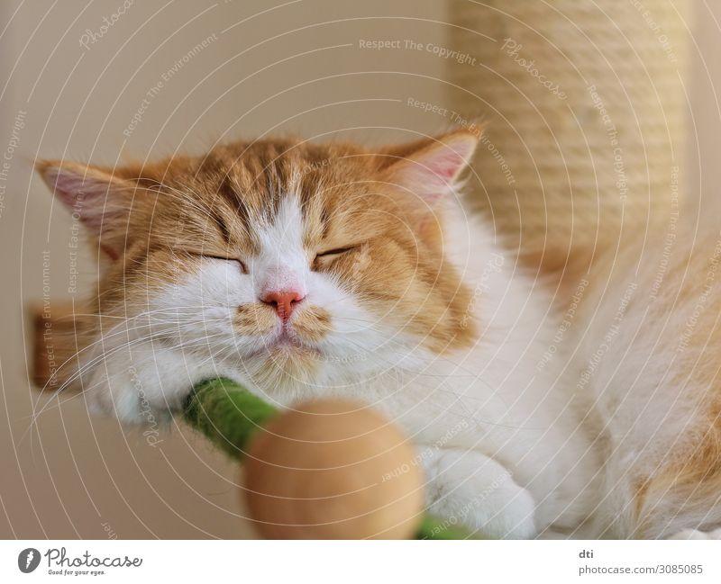 Flauschkopf Tier Haustier Katze 1 liegen schlafen kuschlig Wärme weich braun grün weiß Glück Zufriedenheit ruhig Farbfoto Innenaufnahme Nahaufnahme