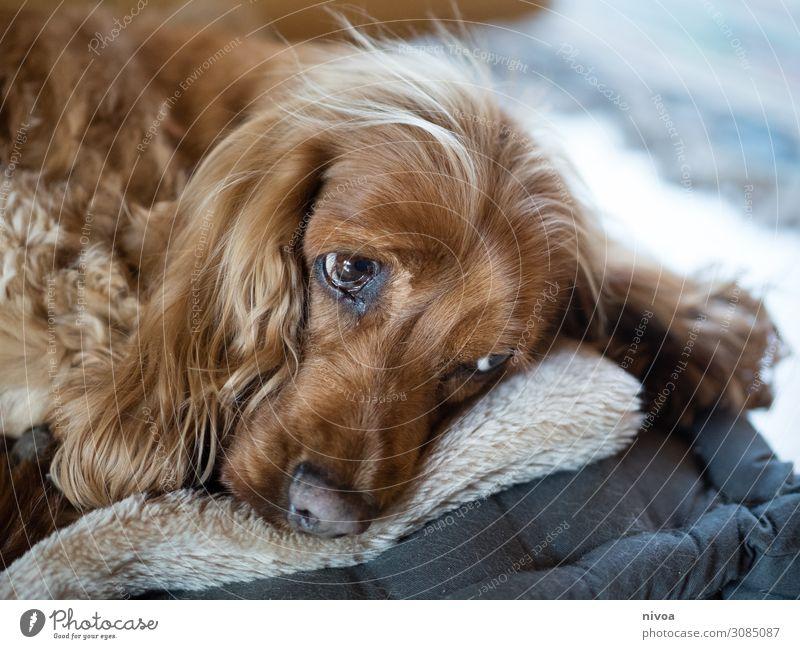 liegender Cocker Spaniel Hund schön Erholung Tier ruhig Glück Spielen braun Häusliches Leben Wohnung Freizeit & Hobby süß träumen beobachten Freundlichkeit