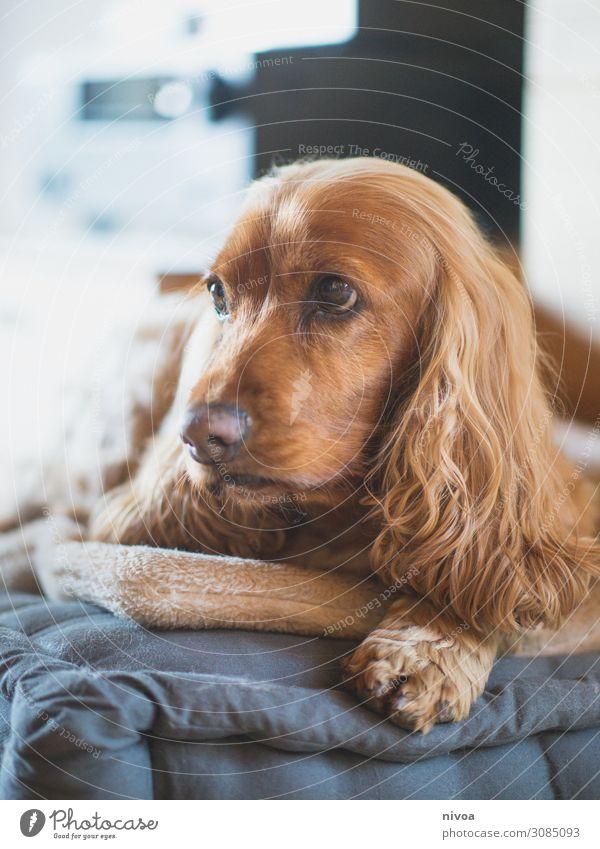 liegender Cocker Spaniel Portrait Häusliches Leben Wohnung Wohnzimmer Tier Haustier Hund Tiergesicht Fell Krallen Pfote 1 Spielzeug Kissen Hundeblick beobachten