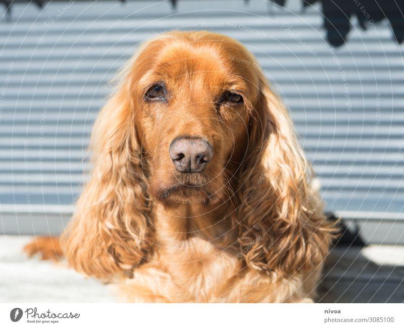 liegender Cocker Spaniel Hund schön rot Erholung Tier Wand Spielen Mauer Zusammensein braun Fassade Häusliches Leben süß genießen niedlich