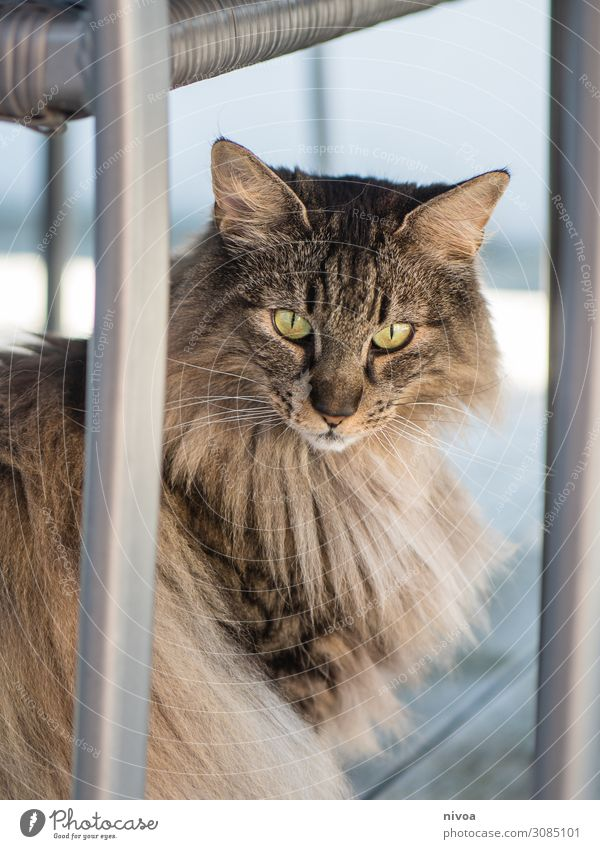 Norwegische waldkatze Freude Freizeit & Hobby Natur Schönes Wetter Balkon Terrasse Gartenstuhl Tier Haustier Katze Tiergesicht Fell 1 beobachten fangen sitzen