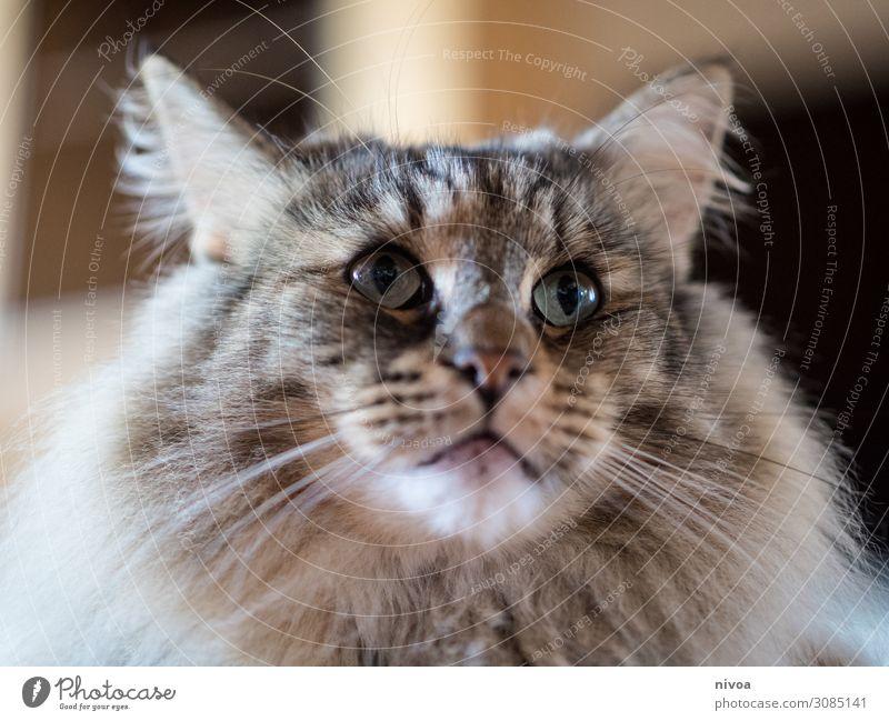 Norwegische Waldkatze Katze schön Tier Lebensmittel Liebe Bewegung Zufriedenheit Ernährung glänzend einzigartig beobachten Fisch Freundlichkeit berühren