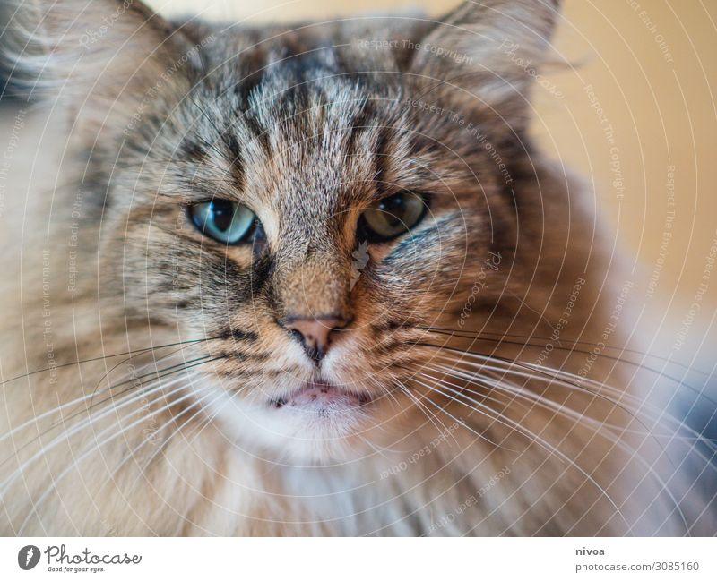 Norwegische Waldkatze Katze Farbfoto Tier Haustier 1 Tierporträt Tiergesicht Blick Blick in die Kamera Innenaufnahme Tag niedlich beobachten schön