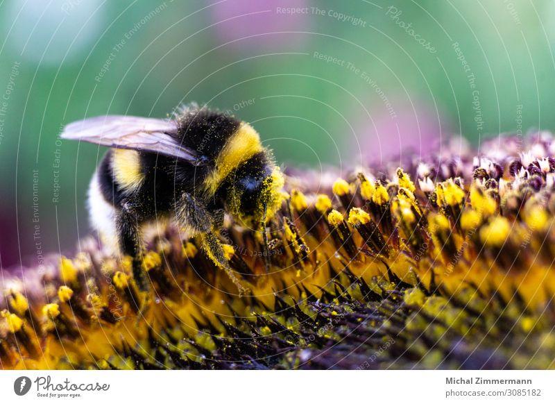Hummel auf einer Sonnenblume (Makro) Sommer Umwelt Natur Klimawandel Pflanze Blume Garten Feld Tier 1 ästhetisch Duft nah schön mehrfarbig gelb Frühlingsgefühle
