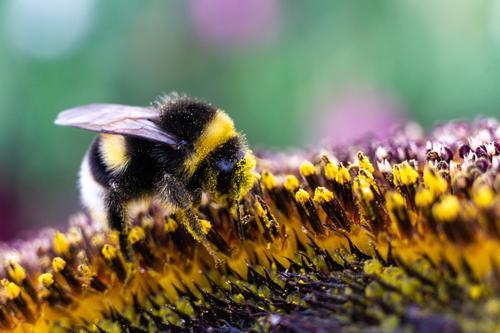 Hummel auf einer Sonnenblume Natur Sommer Pflanze schön Blume Tier gelb Umwelt Garten Feld ästhetisch authentisch Warmherzigkeit nah Duft Klimawandel