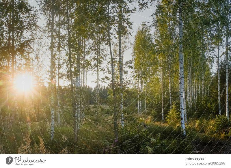 Abendsonnenschein im Birkenwald Natur Landschaft Wald Erholung genießen leuchten ästhetisch hell natürlich grün Glück Lebensfreude Abenteuer Zufriedenheit