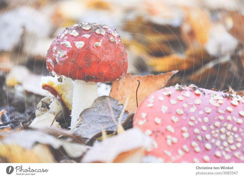 Zwei Fliegenpilze im trockenen Herbstlaub Umwelt Natur Erde klein natürlich braun rot weiß Vergänglichkeit Pilz Pilzhut Farbfoto Gedeckte Farben Außenaufnahme