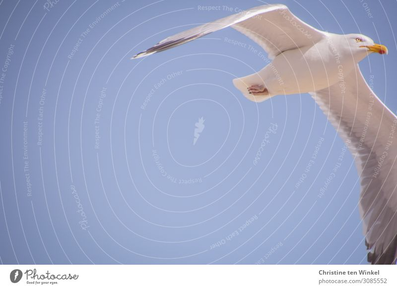 fliegende Silbermöwe vor blauem Himmel mit viel Textfreiraum links. Froschperspektive Tier Wildtier Vogel Tiergesicht Flügel Möwe 1 ästhetisch elegant oben