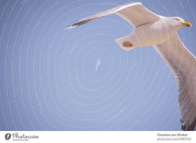 fliegende Silbermöwe vor blauem Himmel Tier Wildtier Vogel Tiergesicht Flügel Möwe 1 ästhetisch elegant frei oben schön weiß Gefühle selbstbewußt Kraft