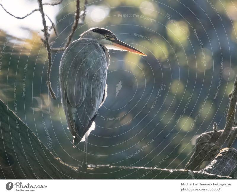 Graureiher im Sonnenlicht Natur Tier Schönes Wetter Baum Zweige u. Äste Seeufer Wildtier Vogel Tiergesicht Flügel Reiher Kopf Schnabel Auge Feder gefiedert 1