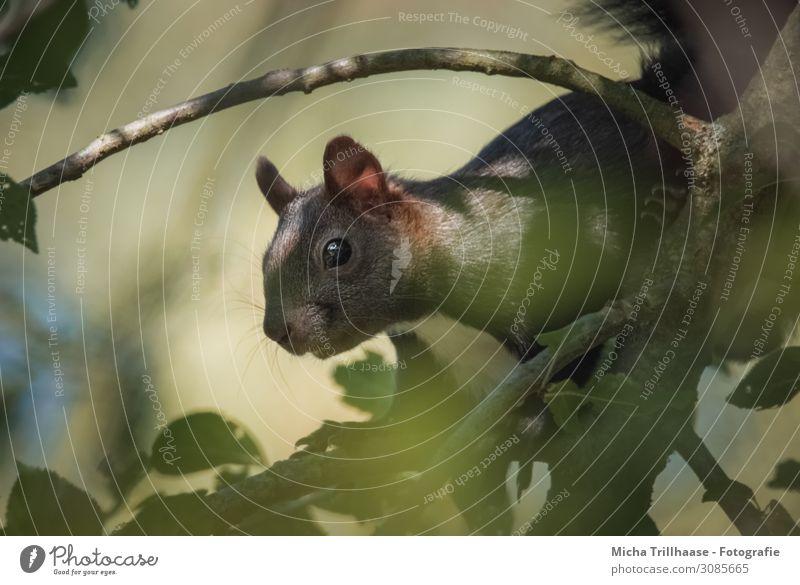 Eichhörnchen im sonnigen Baum Natur Tier Sonne Sonnenlicht Schönes Wetter Blatt Zweige u. Äste Wildtier Tiergesicht Fell Krallen Nagetiere Kopf Auge Nase Maul