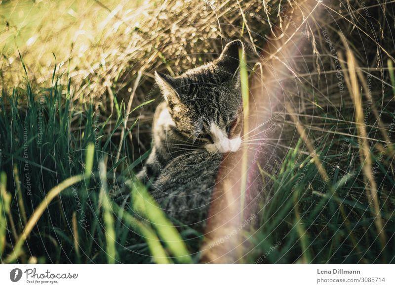 Katze #1 Sonnenlicht Gras Tier Haustier Reinigen niedlich Leichtigkeit Blendenfleck Allgäu Bauernhof Farbfoto mehrfarbig Außenaufnahme Nahaufnahme Menschenleer