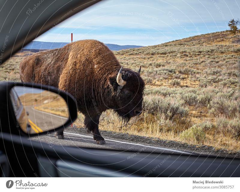 Begegnung mit einem amerikanischen Bison auf einer Straße. Ferien & Urlaub & Reisen Tourismus Ausflug Abenteuer Safari Spiegel Natur Tier PKW Wildtier wild