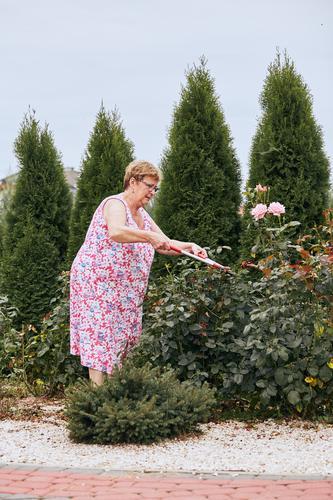 Reife Frau, die in einem Hausgarten arbeitet und den Rosenblütenstrauch beschneidet. Aufrichtige Menschen, echte Momente, authentische Situationen Lifestyle