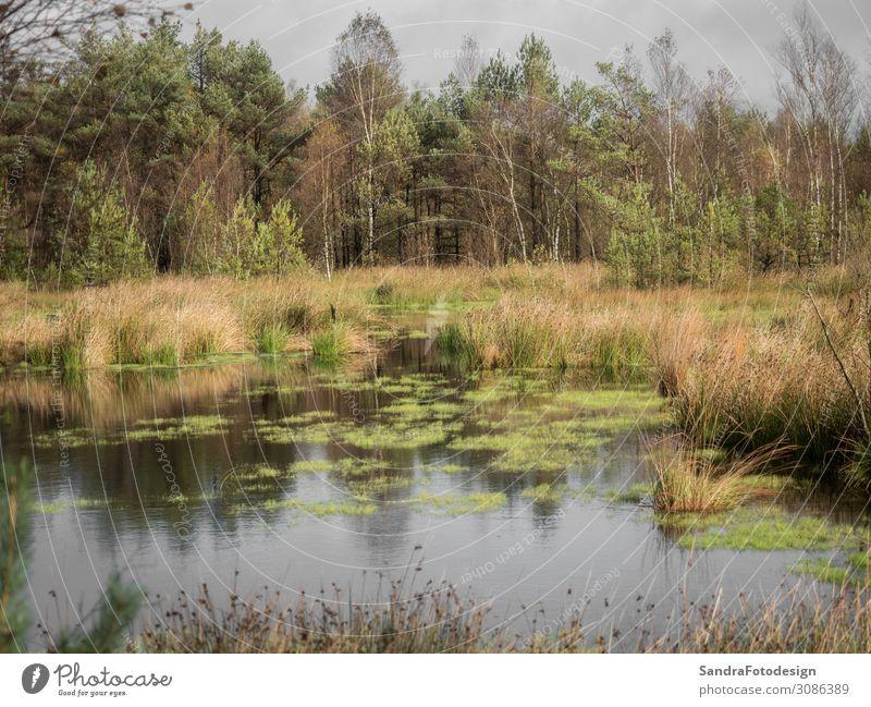 Beautiful moor landscape in the lueneburger heide Freizeit & Hobby wandern Natur Wildpflanze Park Wiese Wald Moor Sumpf beobachten grün Umwelt autumn scenery