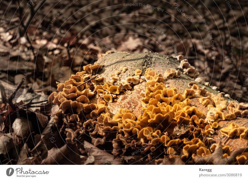 gelber schwefliger Baumpilz Getränk Sommer Natur Pflanze Erde Park Wald natürlich braun Farbe Umwelt Umweltschutz Vergänglichkeit Pilz natural wood forest bark