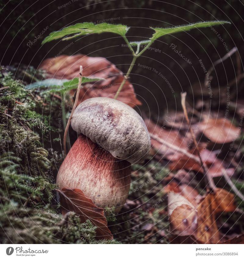 auf der pirsch Lebensmittel Natur Urelemente Erde Wald authentisch Pilz Hexe Moos Pflanze Blatt Suche finden Herbst Herbstlaub Farbfoto Außenaufnahme