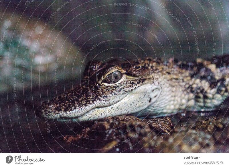 Baby Krokodileidechse bekannt als Crocodylinae Natur Tier Wildtier Tiergesicht 1 Tierjunges braun grau gefährlich Lizard Reptil Küken Echsen Herp Herpetologie