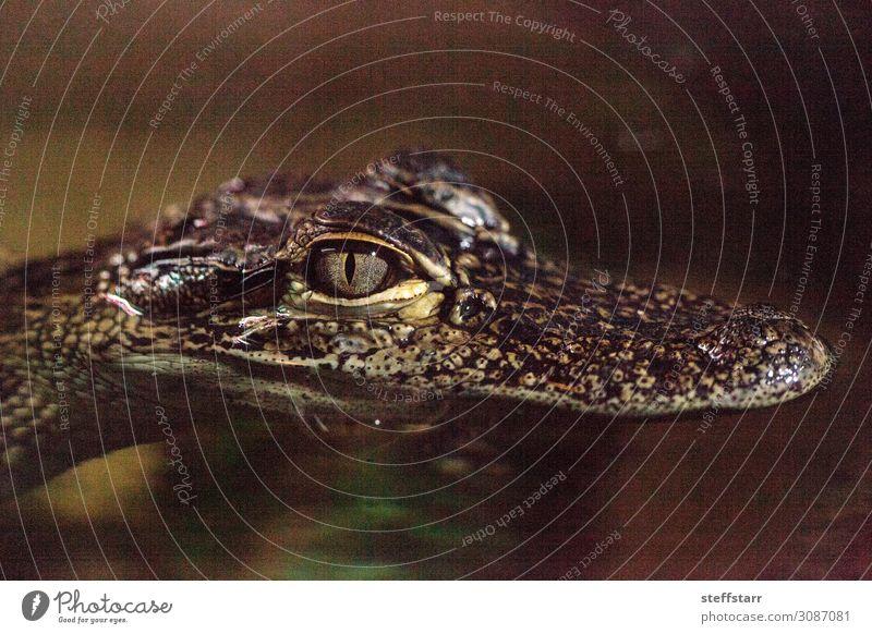 Baby Krokodileidechse bekannt als Crocodylinae Natur Tier Tiergesicht 1 Tierjunges braun gefährlich Lizard Reptil Küken Echsen Herp Herpetologie Farbfoto