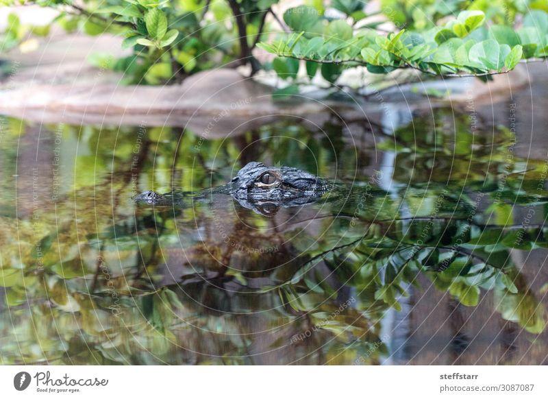 Baby Alligator beim Blick durch das Wasser in einem Teich Natur Tier Tiergesicht 1 Tierjunges grau grün gefährlich Küken Reptil Echsen Herp Herpetologie