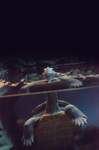 Natur blau Tier schwarz orange Haustier Tiergesicht seltsam gepunktet Reptil Panzer