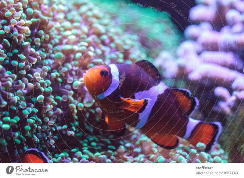 Oranger und weißer Clownfisch Anemonenfisch Natur Tier Korallenriff Wildtier Fisch 1 grün orange Salzwasserfisch Amphiprion Meeresfische tropische Fische