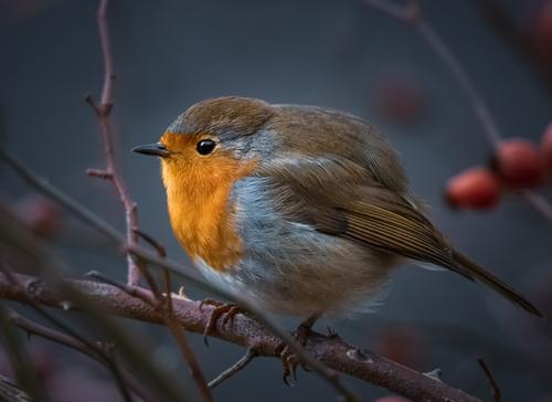 Rotkehlchen im Hagebuttenstrauch Natur blau rot Tier schwarz gelb Auge orange Vogel Kopf leuchten glänzend Wildtier Feder Sträucher Schönes Wetter