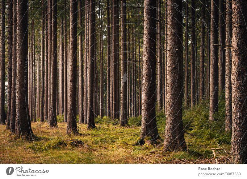 Wald Natur Pflanze Sommer Baum Nutzpflanze atmen Erholung wandern dünn braun Umweltverschmutzung gerade Monokultur Fichte Fichtenwald Baumstamm Farbfoto
