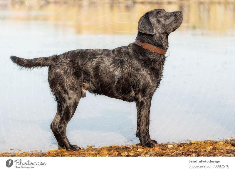 Black Labrador Retriever stands by the water Spielen Sommer Natur Wasser Park Tier Haustier Hund Fell 1 Schwimmen & Baden beobachten Liebe springen