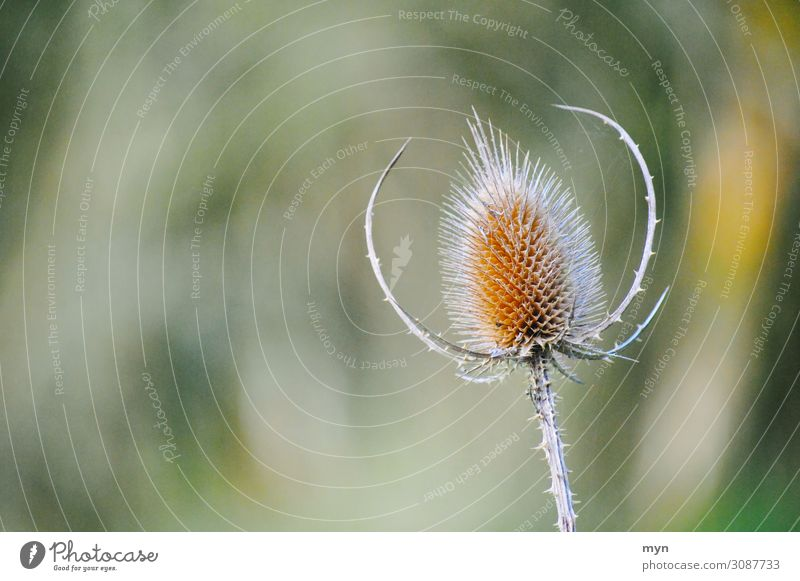 Distel Umwelt Natur Landschaft Pflanze Frühling Sommer Herbst Schönes Wetter Blume Sträucher Grünpflanze Garten Park Wiese Feld Wald Leben stachelig Stachel