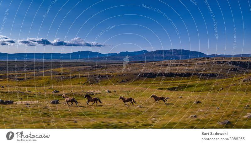 Wilde Pferde Laufen in grasbewachsenem Gelände Freiheit Expedition Berge u. Gebirge Natur Landschaft Tier Schönes Wetter Wiese Hügel Wildtier 4 Herde rennen