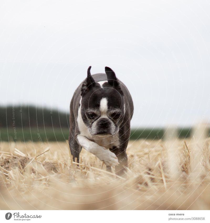 Boston Terrier Angel Tier Haustier Hund 1 laufen Zufriedenheit Tierliebe Gelassenheit ruhig Natur Gedeckte Farben Außenaufnahme Tag Zentralperspektive