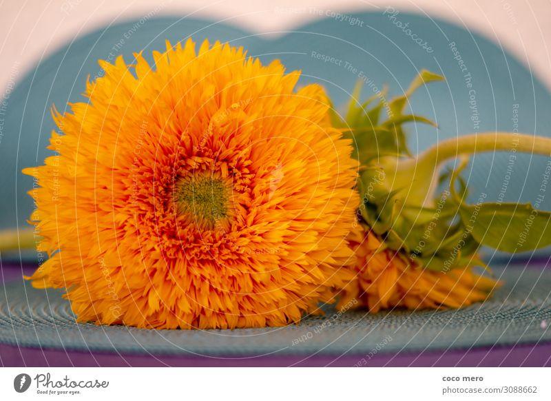 Sonnenblume Teddybär Dekoration & Verzierung Pflanze Blüte Blühend Fröhlichkeit gelb orange türkis Lebensfreude Farbe Wellness Farbfoto mehrfarbig Innenaufnahme