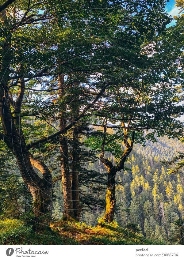 Der Wald wie ein Gemälde II Tier Sommer Baum Berge u. Gebirge alt groß braun grün schön ruhig Design Einsamkeit einzigartig Erholung Idylle Natur Stimmung