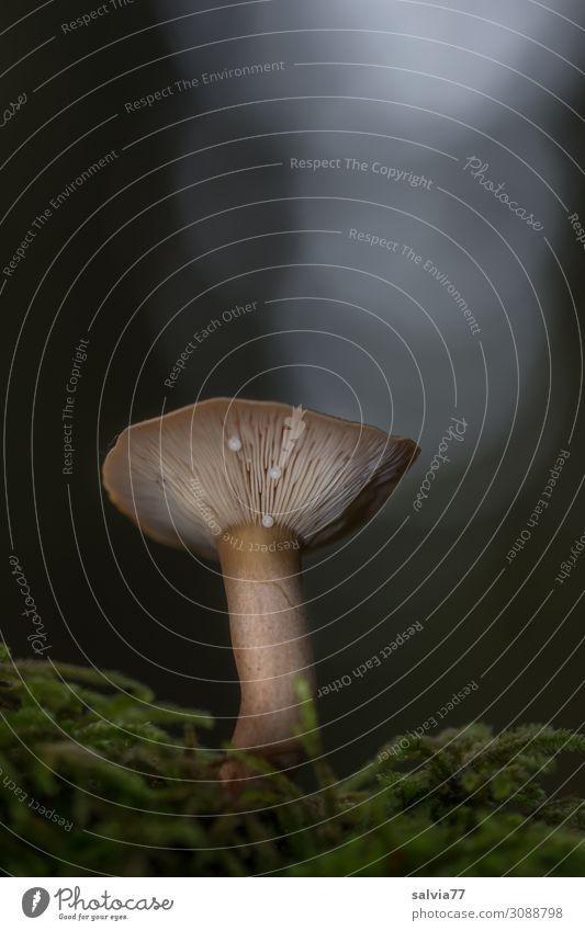 Trichterling Umwelt Natur Pflanze Herbst Moos Pilz Pilzhut Lamellenjalousie Wald Wachstum dunkel Farbfoto Gedeckte Farben Außenaufnahme Makroaufnahme