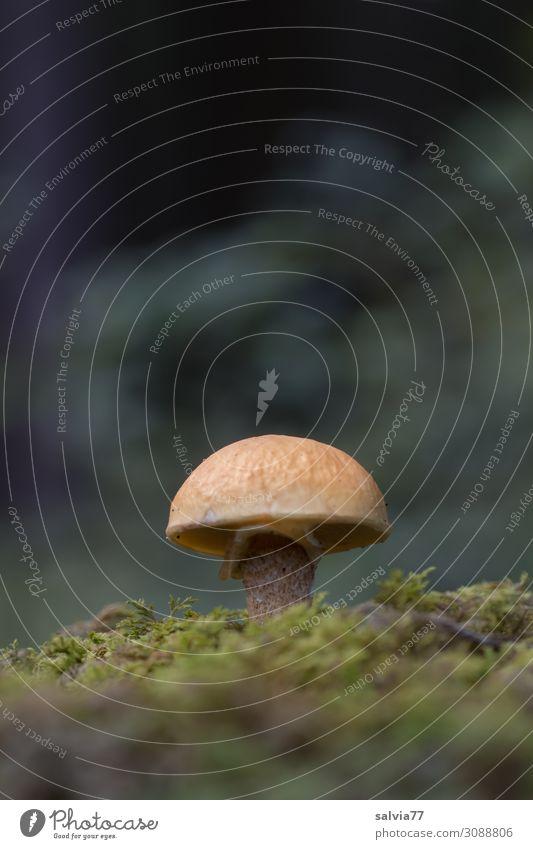 Pilz im Moos Natur Pflanze Waldboden Herbst Pilzhut Schwache Tiefenschärfe Nahaufnahme natürlich Froschperspektive Textfreiraum oben grün Wachstum braun