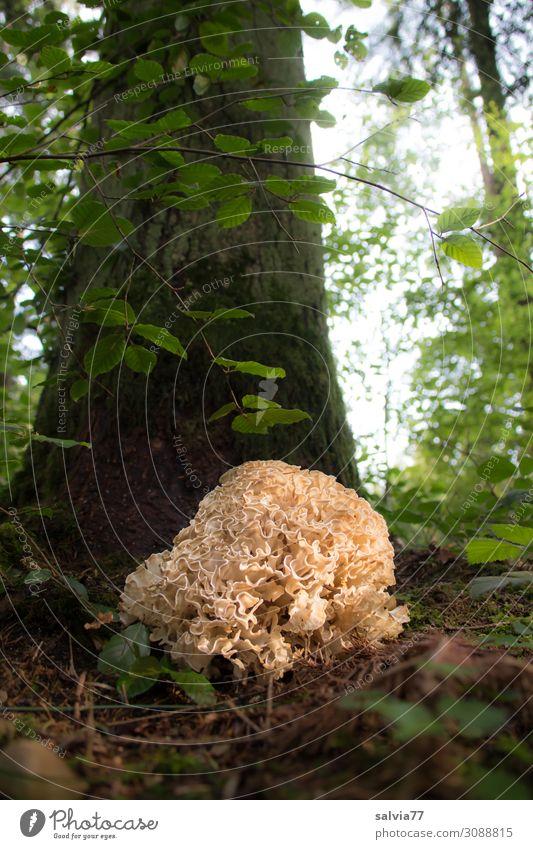 Krause Glucke Umwelt Natur Pflanze Erde Sonne Herbst Baum Blatt Wildpflanze Speisepilz Pilz Baumstamm Wald Wachstum außergewöhnlich wild bizarr einzigartig