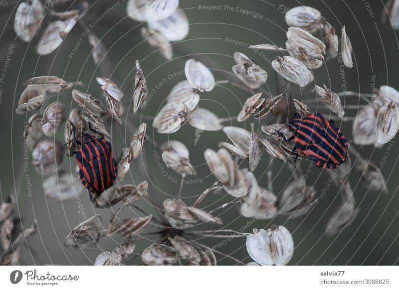 zwei Wanzen Umwelt Natur Tier Pflanze Blüte Samen Bärenklau Wiese Feld Wildtier Käfer Insekt Streifenwanze 2 krabbeln Perspektive Vergänglichkeit
